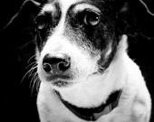jack russell in black & white