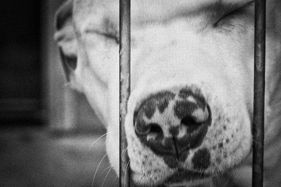 shelter dogs no. 31, pitbull