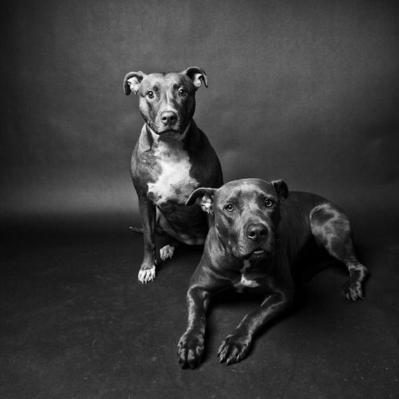 brother & sister no11 - pitbulls in black and white