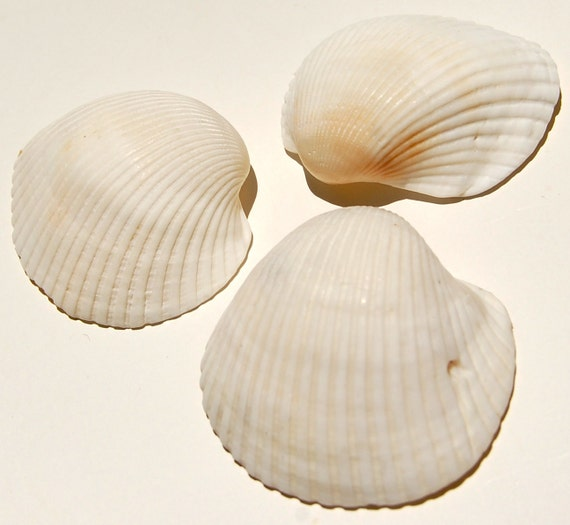 Three White Ribbed Clam Shells (Number 1)