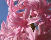 Pink HYACINTH Closeup from Below - BLANK 5 X 7 NOTECARD frameable Art Photo with FREE Origami Crane