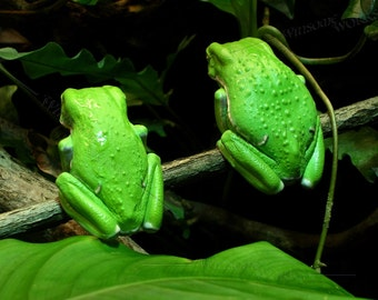 Pair of Waxy Monkey Tree Frogs - PHOTO PRINT 8 X 10 frameable ART Enlargement with FREE Origami Crane