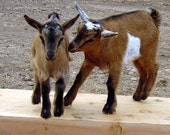 Discounted Goat's Milk Soap, Bulk Buy Soap, A Herd of Goats,