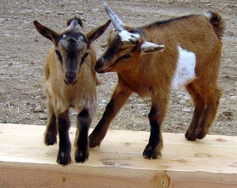 Discounted Goat's Milk Soap, Bulk Buy Soap, A Herd of Goats,