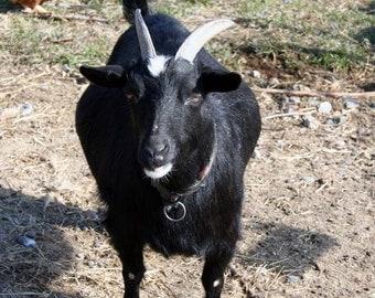 Super Goatload of Soap, Bulk Buy, 3 Six Ounce Bars, Discount Soap, Goat's Milk Soap, Handmade Soap