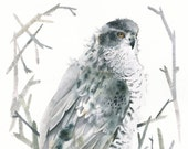 Northern Goshawk Limited Edition Print