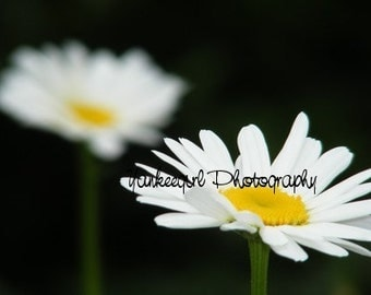 Floating Daisies-Matted and Ready to Frame-Original Photography