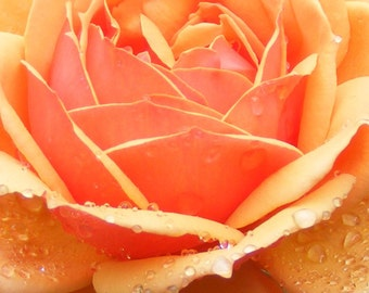 Peach Rose-Matted and Ready to Frame-Original Photography