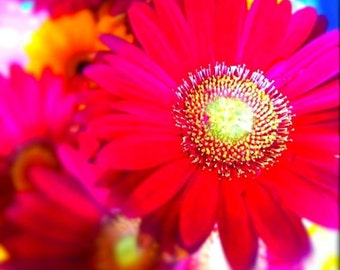 "Red Daisy - 8"" x 8"" Fine Art Print"