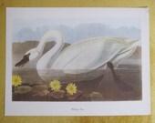 Vintage Audubon Birds of America Print Whistling Swan