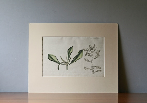 antique hand colored etching Flora Danica 2