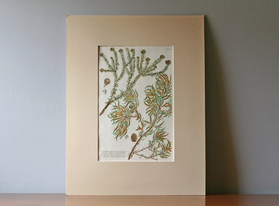 antique hand colored etching Flora Danica 3