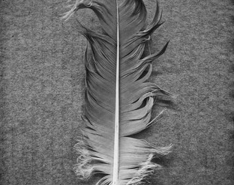 Goose Feather on Cardboard black and white photograph