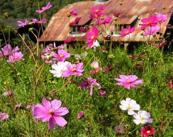 Old Barn Photography. Valle Crucis N.C. Colorful pink wildflowers wall art. Green. white. Rustic Floral Home decor. 8x10, 5x7 matted to 8x10