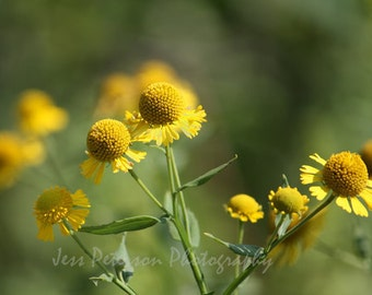 Wildflower Photography. N.C. Sneezeweed photo Print. Green Yellow Home Decor. Floral Nature wall art. 11x14 Fine Art Photograph, 8x10 matted