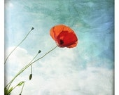 Coquelicot (Nature Photography - Fine Art Print - Poppy Flower -  Botanical - Wildflower - Spring - Red - Aqua Blue)