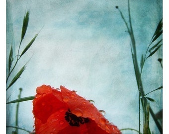 Sous la pluie (Nature Photography - Fine Art Print - Poppy Flowers - Country -  Botanical  -Rain - Red - Green - Blue)