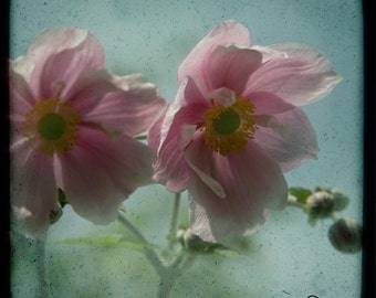 Pink Blue Green Floral Photograph--Side by Side Anemonies--TTV Fine Art
