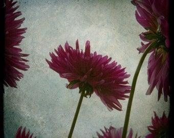 Blue Magenta Flowers Photograph--Dahlias Dahling--TTV  Fine Art