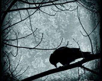 Blue Black Crow Photograph--Black Crow Feeding--Fine Art