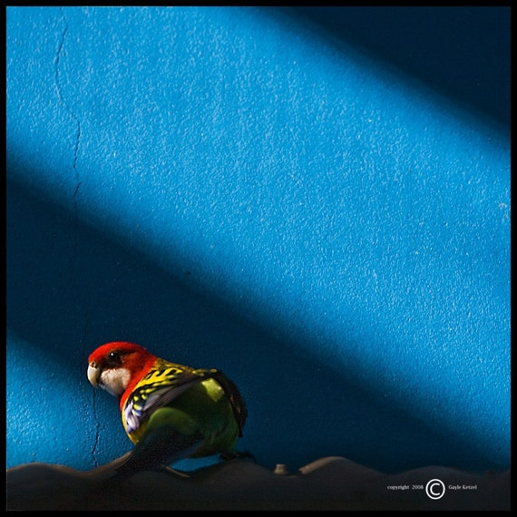 Blue Parrot Photograph--Lurking in the Shadow-- Fine Art