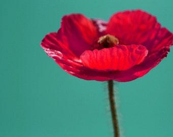 8 x 10 photograph - poppy on blue sky