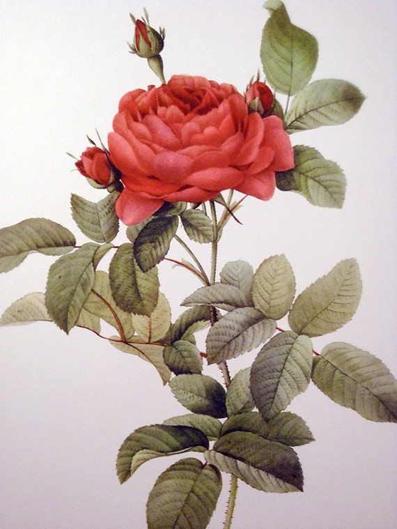 Vintage Redoute Red Rose Print - Rosa Gallica Pontiana - French Flower