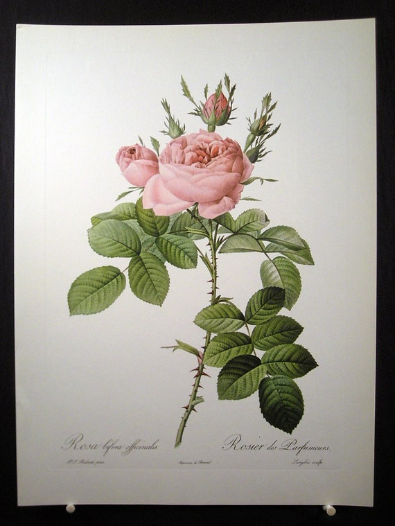 Vintage Redoute Pink Roses Print - Rosa Bifera Officinalis - French Flowers
