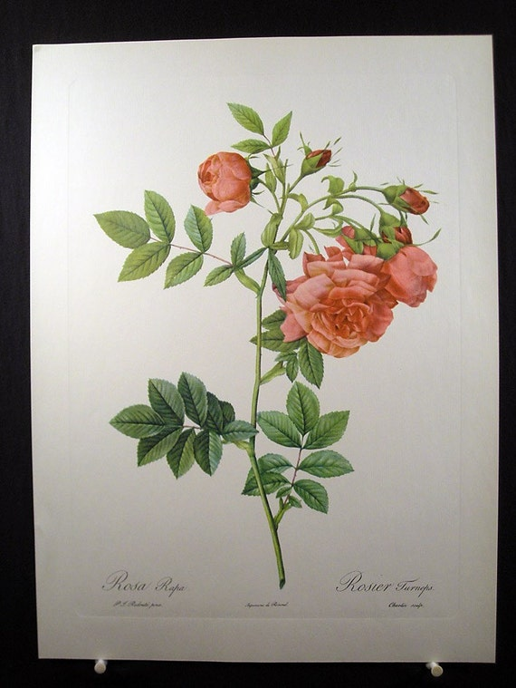 Vintage Redoute Pink Roses Print - Rosa Rapa - French Flowers