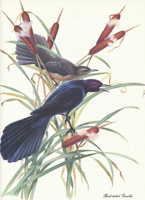 Vintage Bird Print - Boat Tailed Grackle - Menaboni Book Plate