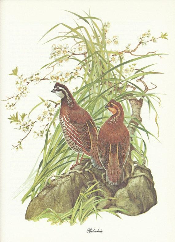 Vintage Bird Print - Bobwhite Quail - Menaboni Book Plate