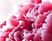Pink Carnation 5x7