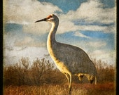 Crane at the Bosque 3, Original, Fine Art Photograph, 5x5