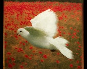 White Dove in Poppies, 5x5 Fine Art Photograph matted to 11x14