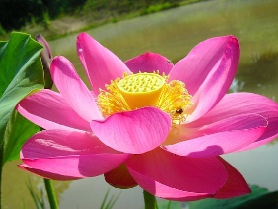 Organic Lotus Plant Seeds - Grow a Lotus Flower