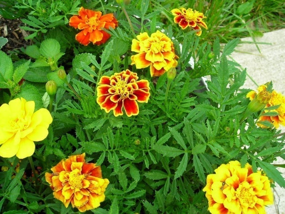 Organic French Marigold Seeds  - Grow a Vintage Garden