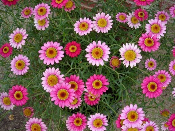 Pink Mexican Daisy Seeds to Plant a Fairy Garden