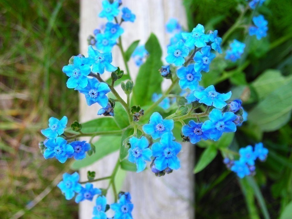 organic blue forget me not flower seeds plant a by. Black Bedroom Furniture Sets. Home Design Ideas