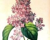 Lilac 1979 Vintage Flowers Book Plate Print p238