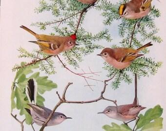 1936 Bird Print Book Plate Fuertes Chickadee P103