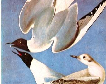 1978 Vintage Audubon Bird Print Bonapartian Gull