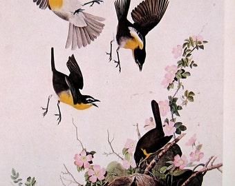 1978 Vintage Audubon Bird Print Yellow Breasted Chat