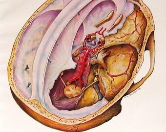 Anatomy Print - 1973 Human Anatomy Colored Illustration The Craium Brain