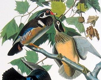 Wood Duck Large 1981 Vintage Audubon Book Plate Print f38