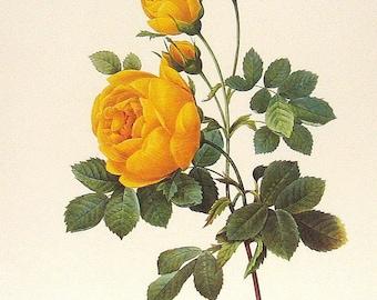 Rosa jaune de soufre 1981 Large Vintage Colored Botanical Book Plate