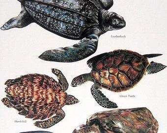 Leatherback Turtle, Green Turtle, Loggerhead 1984 Vintage Turtles Book Plate Colored