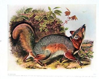 Audubon Gray Fox Print: 1951 Vintage Audubon Animal Colored Print Book Plate 2 Sided