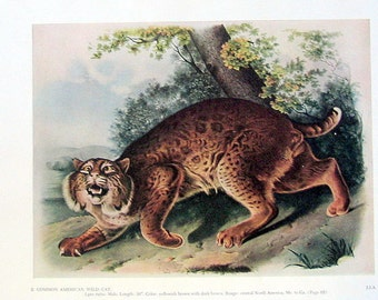 Audubon Common American Wildcat Print: 1951 Vintage Audubon Animal Colored Print Book Plate 2 Sided