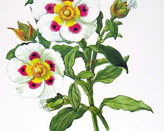 Onycha or Gum Rockrose, Vintage 1957 Botanical Print with Bible Verse Book Plate