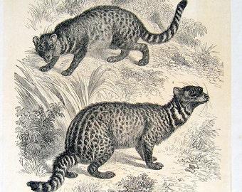 1860 Antique Exotic Animal Engraving The Zibet of Amboyna, Zibet of India (Civet)
